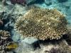 koralowiec