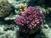 koralowiec2